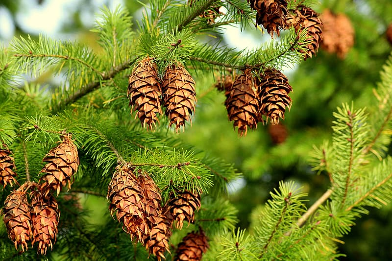 Brown pine cones on green tree
