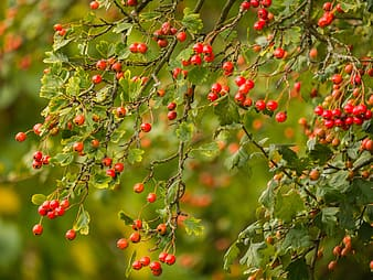 Red and green round fruits