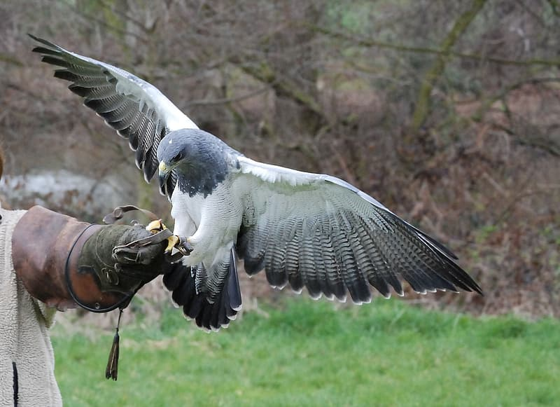 Gray and white eagle