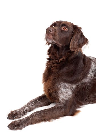 Brown and white German long-haired pointer with white background