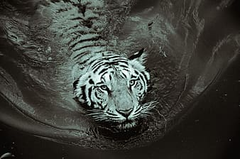 Grayscale photo of swimming tiger