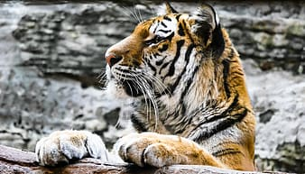 Close-up photography of brown and white tiger