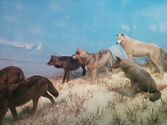 Pack of wolves on hill near snow capped mountains paintig