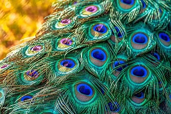 Green-and-blue peacock feathers