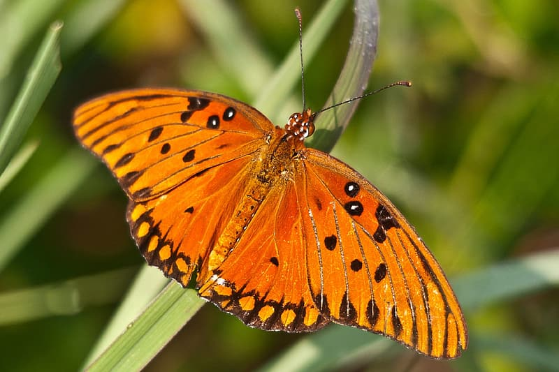 Closeup photo of gulf fritillary butterfly perching on green leaf at daytime