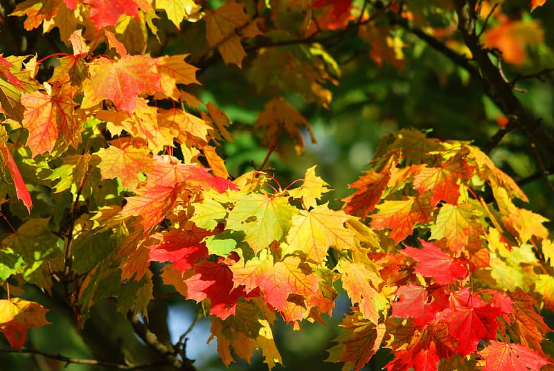 Yellow and red Maple tree