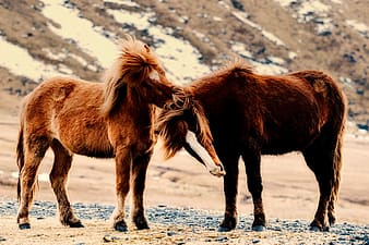 Two brown horse photo