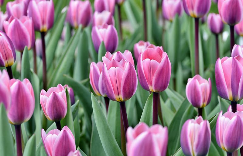 Pink tulips in bloom during daytime
