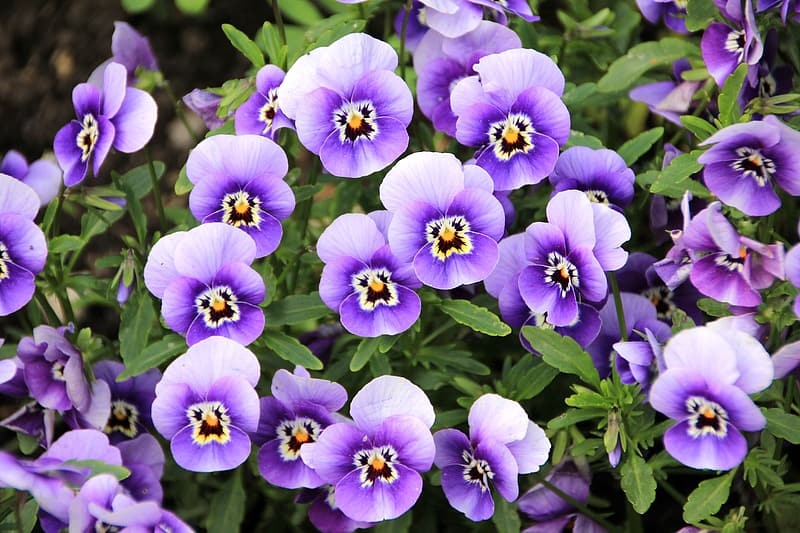 Closeup photography purple pansies