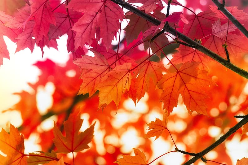Red maple leaves in close up photography