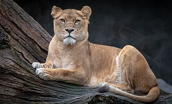 Brown lioness lying on brown wood log