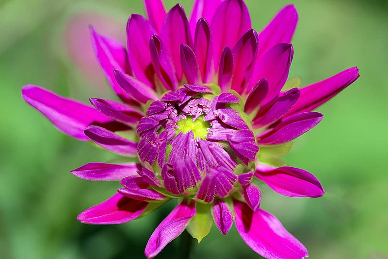 Close-up photo of pink chrysanthemum flower