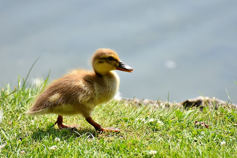 Duckling on grass near body of water