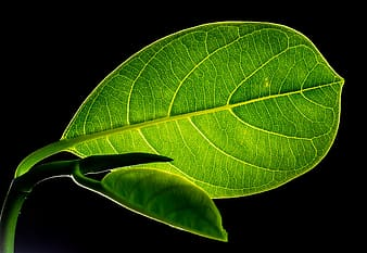 Green veined ovate leaf