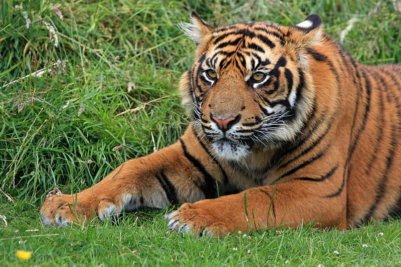 Shallow focus photography of orange and black tiger